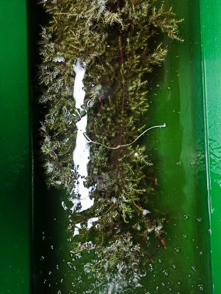 Wylęg szczupaka w gospodarstwie rybackim Lutom